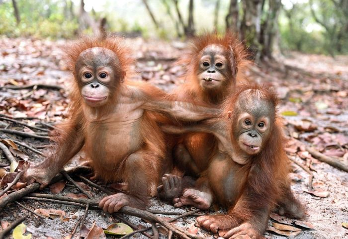 Baby Orangutans Are Too Cute To Handle (11 pics)