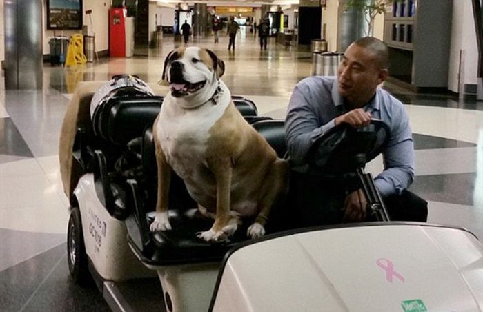 Obese Dog Wheeled Onto An American Airlines Flight So He Can Travel First Class (4 pics)