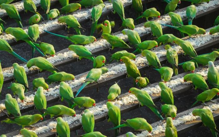 Indian Man Feeds 4,000 Parrots Daily (9 pics)