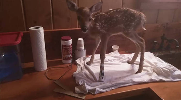 Man Takes Home Baby Deer And Makes A Lifelong Friend (10 pics + video)
