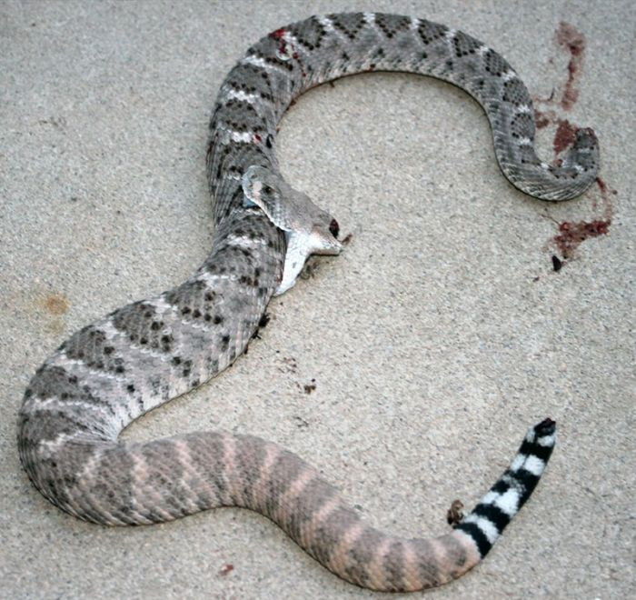 Rattlesnake Bites Itself After Losing Its Own Head (4 pics)