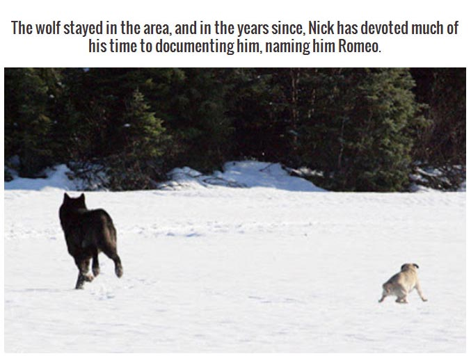 This Wild Wolf Just Wanted To Be One Of The Dogs (9 pics)