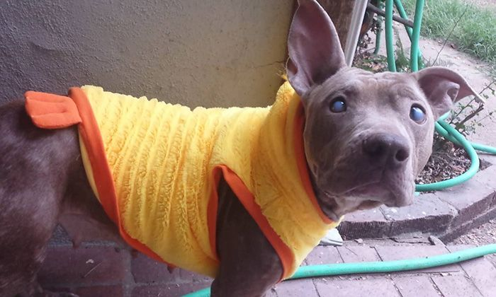 Blind And Orphaned Pitbull Finally Gets The Attention She Deserves (6 pics)