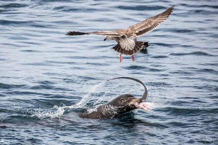 Sea Lion Demolishes A Shark (5 pics)