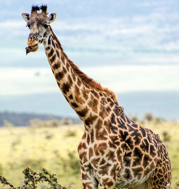 Tiny Bird Acts As A Toothbrush For A Giraffe (6 pics)