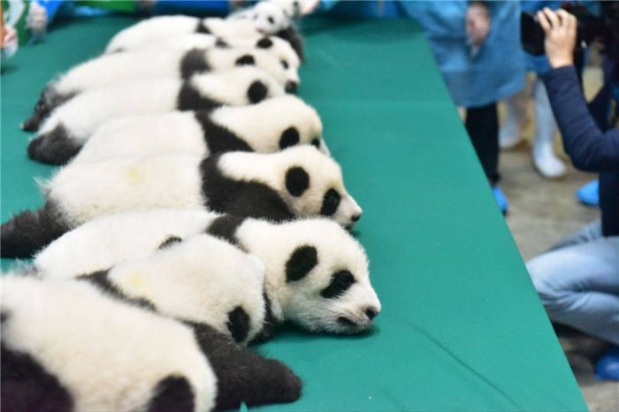This Family Of Pandas Is Adorable (9 pics)