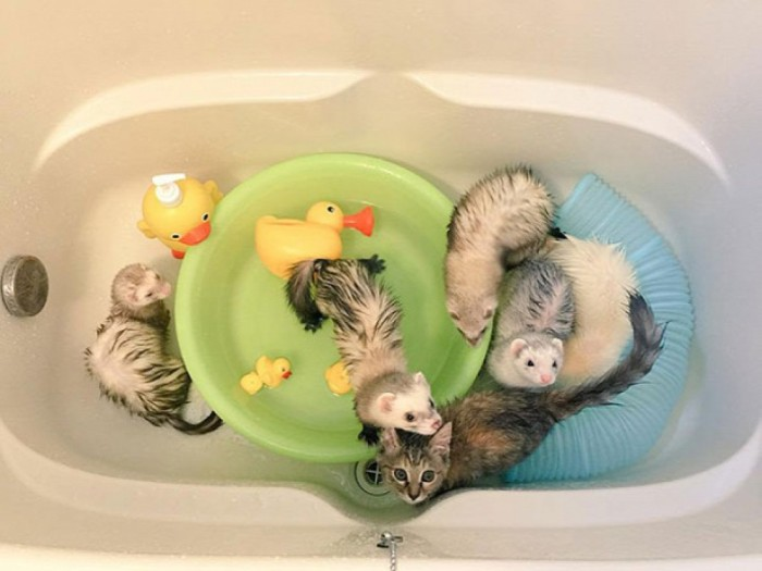Kitten Now Thinks Its A Ferret After Being Adopted By A Ferret Family (12 pics)