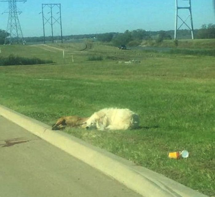 Dallas Dog Stands Guard After His Friend Was Hit By A Car (4 pics)