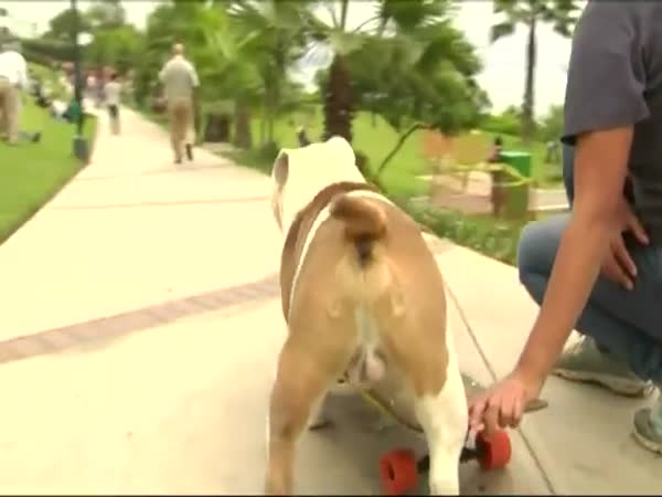 Otto the Skateboarding Bulldog Breaks a World Record
