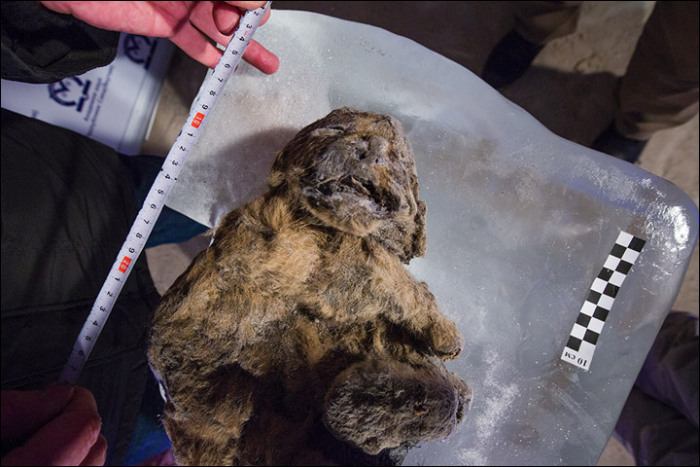 12,000 Year Old Frozen Cats Found In The Siberian Cold (14 pics)