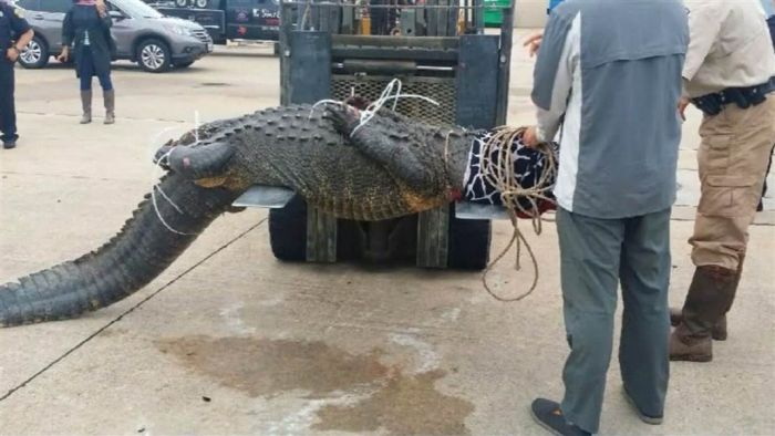 Alligator Hunter Meets Her Match When She Takes On This 800 Pound Reptile (4 pics)