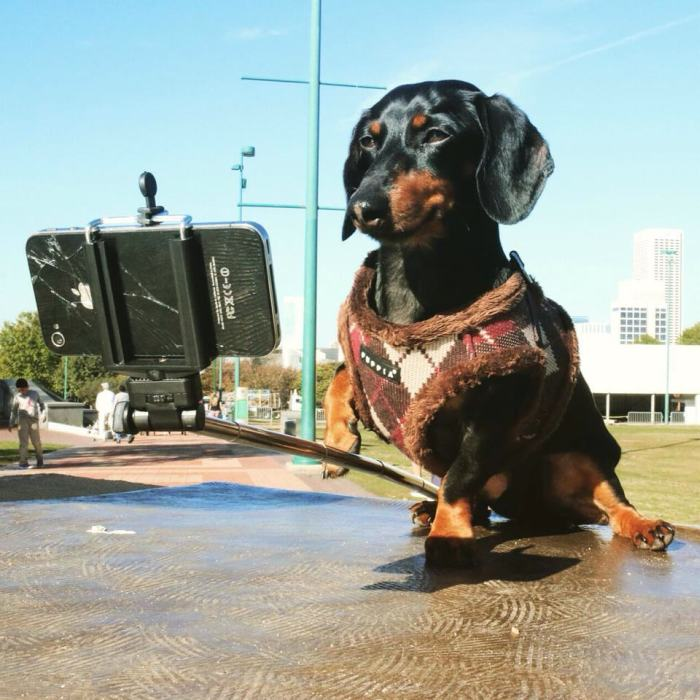 Crusoe Isn't Just A Dachshund, He's A Celebrity (20 pics)