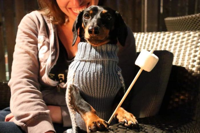 Crusoe Isn't Just A Dachshund, He's A Celebrity (20 pics)