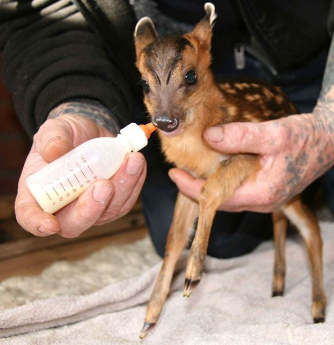 Rescued Baby Deer Is Expected To Make A Full Recovery (3 pics)