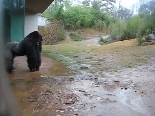 Timid Gorilla Takes A Sneaky Run Outside While Its Raining