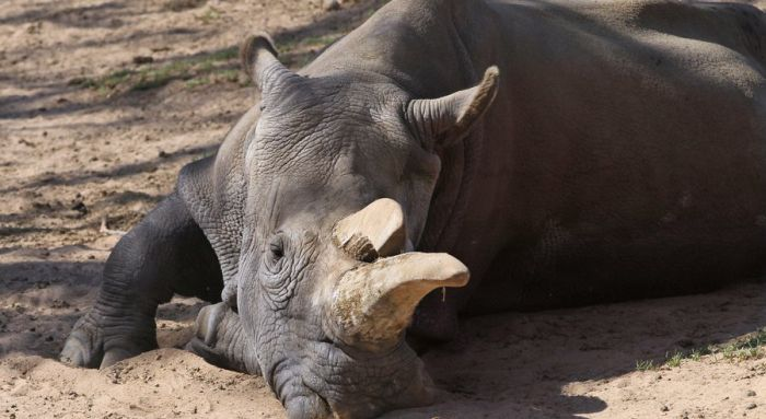 There Are Now Only 3 Living White Rhinos Left On Earth (5 pics)
