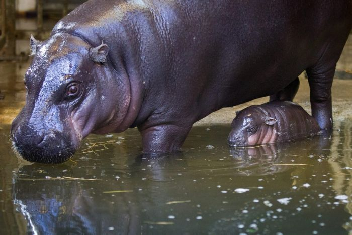 A 3 Week Old Pygmy Hippo Is Stealing The Hearts Of The Internet (17 pics)