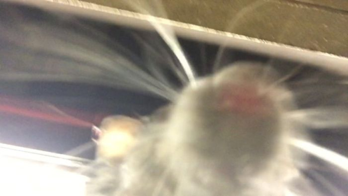 Rats Love Taking Selfies On New York City Subway Platforms (pic + video)