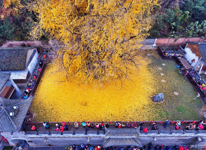 Buddhist Temple Gets A New Look Thanks To A 1,400 Year Old Chinese Ginkgo Tree  (5 pics)