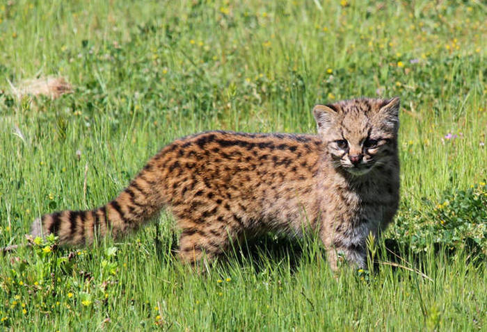 Rare Species Of Wild Cats You've Probably Never Heard Of (21 pics)