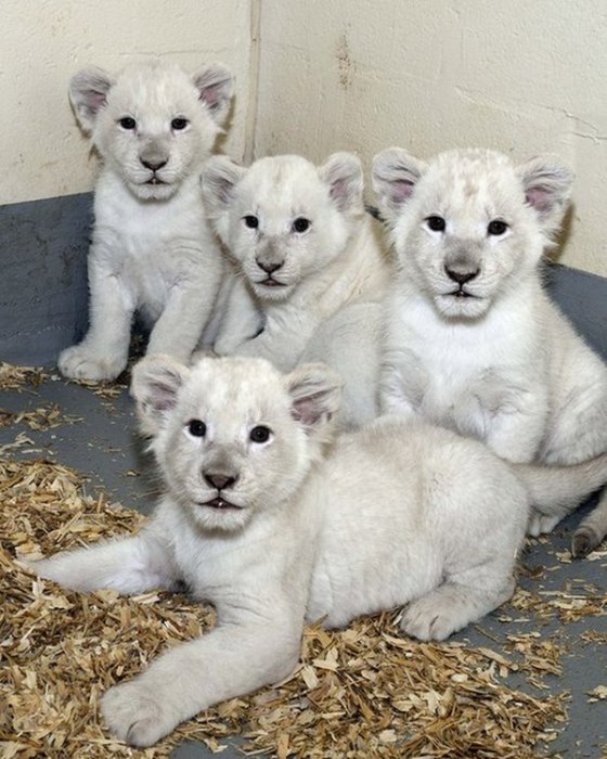 The Toronto Zoo Is Home To The Cutest White Lion Cubs (4 pics + video)