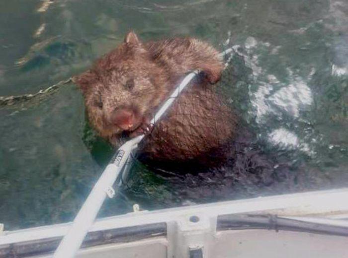 Fishermen Rescue A Struggling Wombat (3 pics)