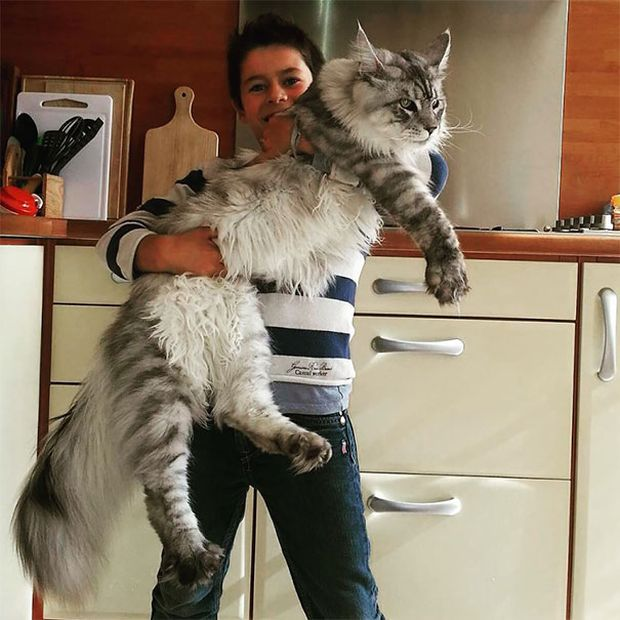 maine coon cats that are way too big to be house cats 29 pics - Biggest Cat In The World Guinness 2015