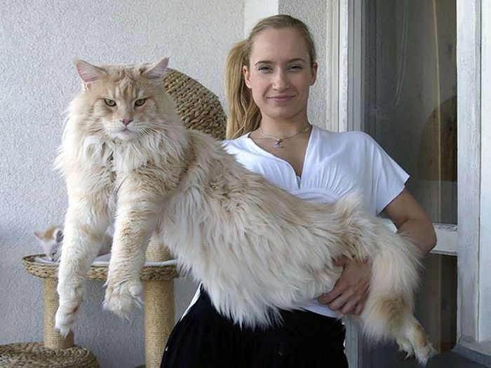 Maine Coon Cats That Are Way Too Big To Be House Cats (29 pics)