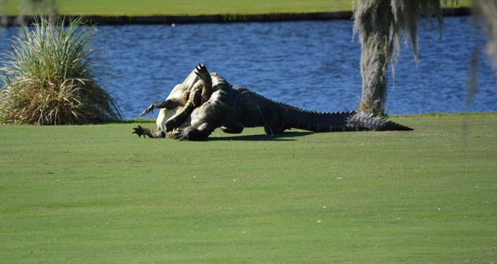 Two Alligators Engage In Battle On A Florida Golf Course (7 pics)