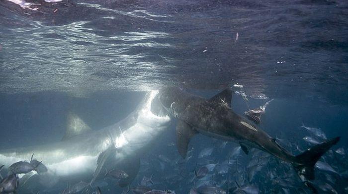 Photographer Captures Intense Battle Between Two Violent Sharks (4 pics)