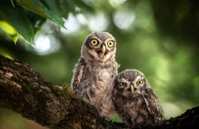 See The Inside Of An Owl's Ears (4 pics)