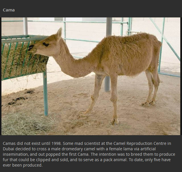 Animal Hybrids That You Won't Believe Actually Exist (17 pics)