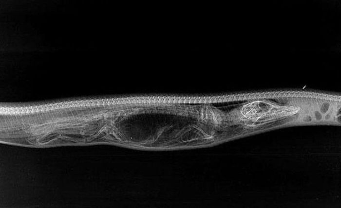 See How A Python Digests Other Animals (6 pics)