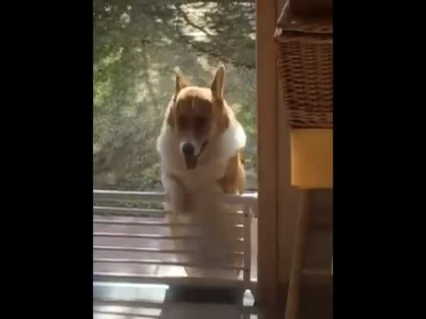 Corgi Fails At Hopping Over Fence