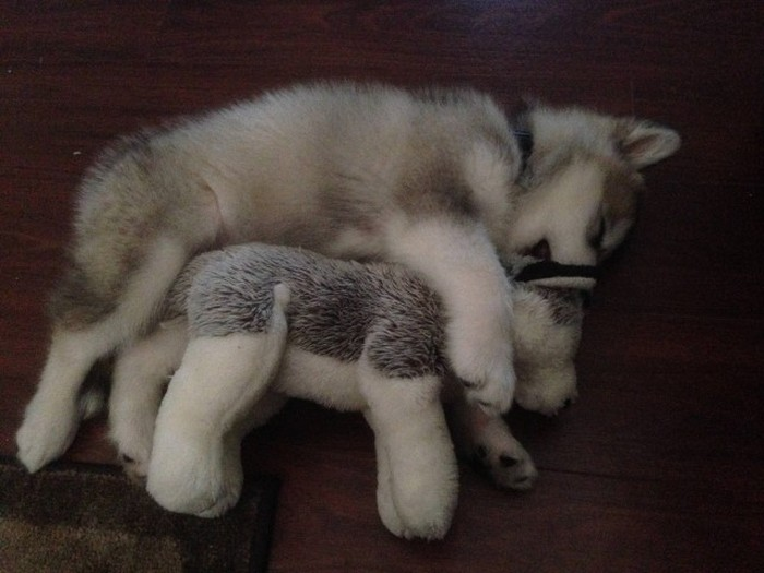 The Only Stuffed Animal This Dog Won't Destroy (2 pics)