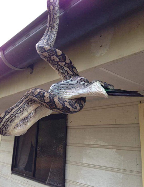 Photographer Captures A Python Swallowing A Parrot Whole (4 pics)