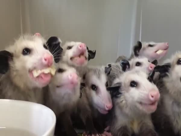 Opossums Eat