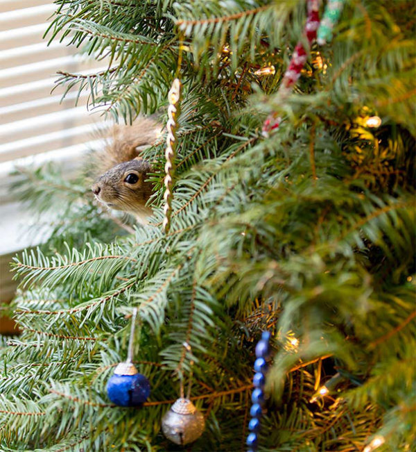 This Couple Saved A Squirrel And Let It Live In Their Christmas Tree (4 pics)