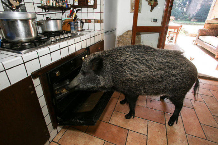 Meet The Couple That Lets A Hog Live Inside Their House (14 pics)