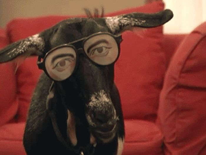 Gifs That Prove Goats Are A Very Special Kind Of Weird (14 gifs)