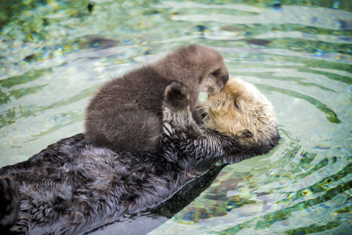 Otter Pup Falls Asleep While Floating On Its Mother's Belly (4 pics)