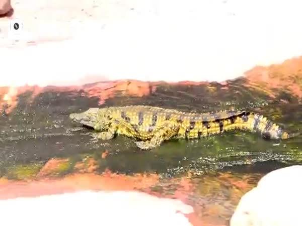 Crocodile Riding On Water