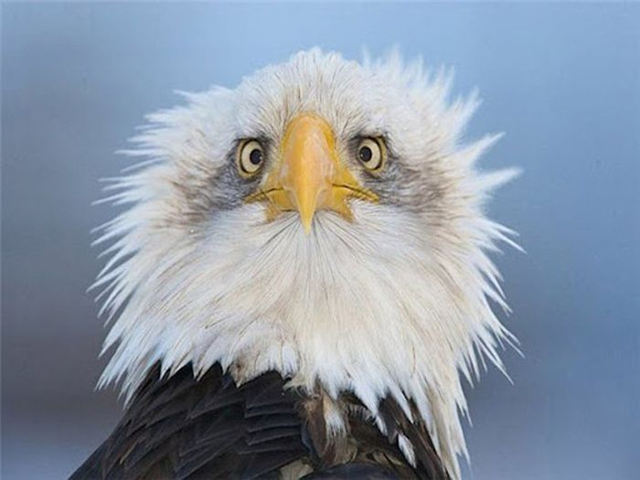 Why Eagles Always Pose A Certain Way In Photos (2 pics)
