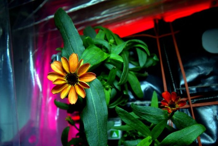 Astronaut Grows First Flower On The International Space Station (2 pics)