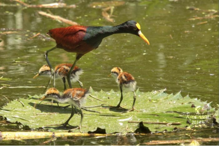 Jacana Birds Know How To Travel (4 pics)