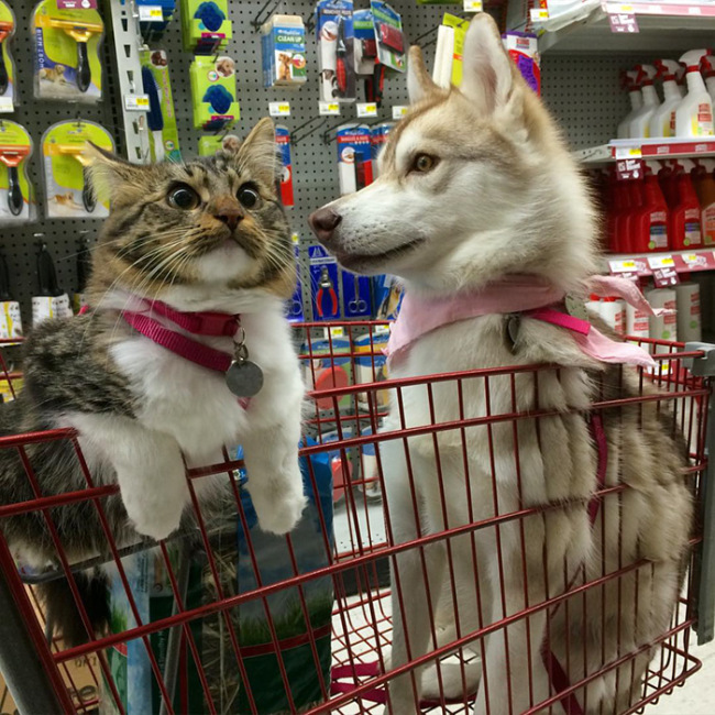 Huskies Become Best Friends With A Cat (15 pics)