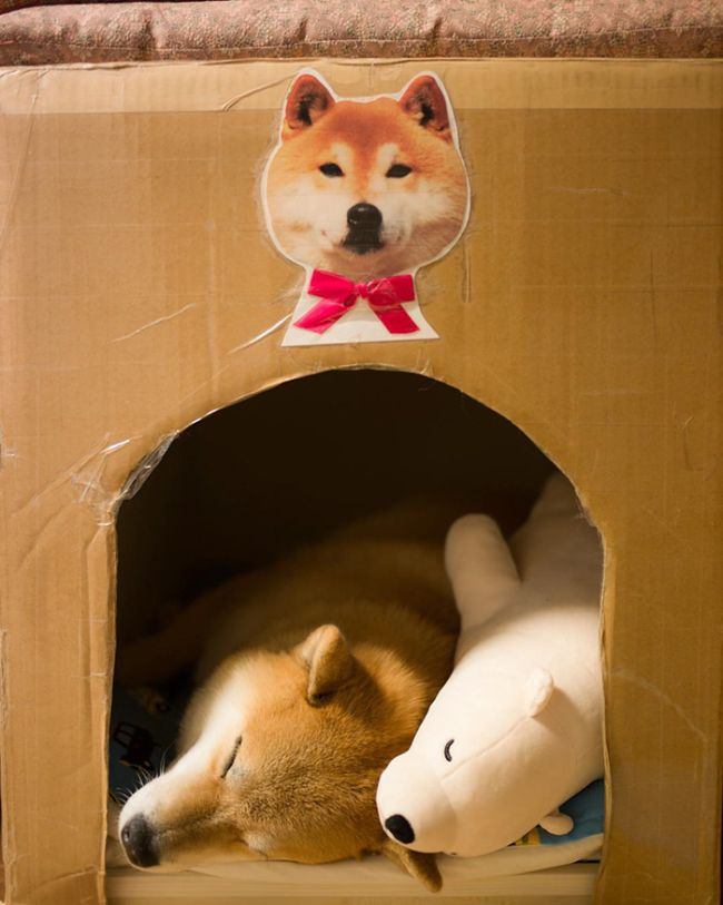 Shiba Inu Loves To Emulate His Favorite Plush Toy (11 pics)