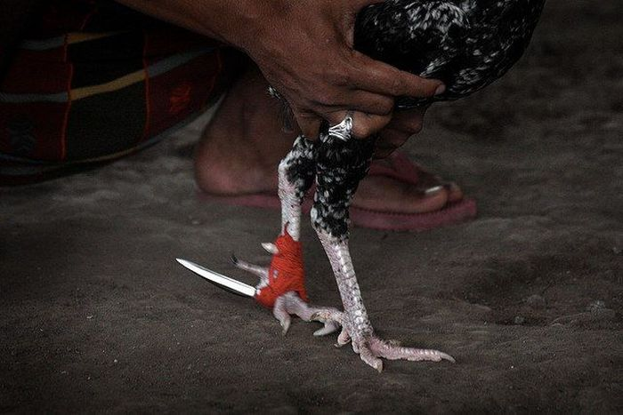 Cockfighting Becomes Much More Violent When You Add Metal Spurs (10 pics)