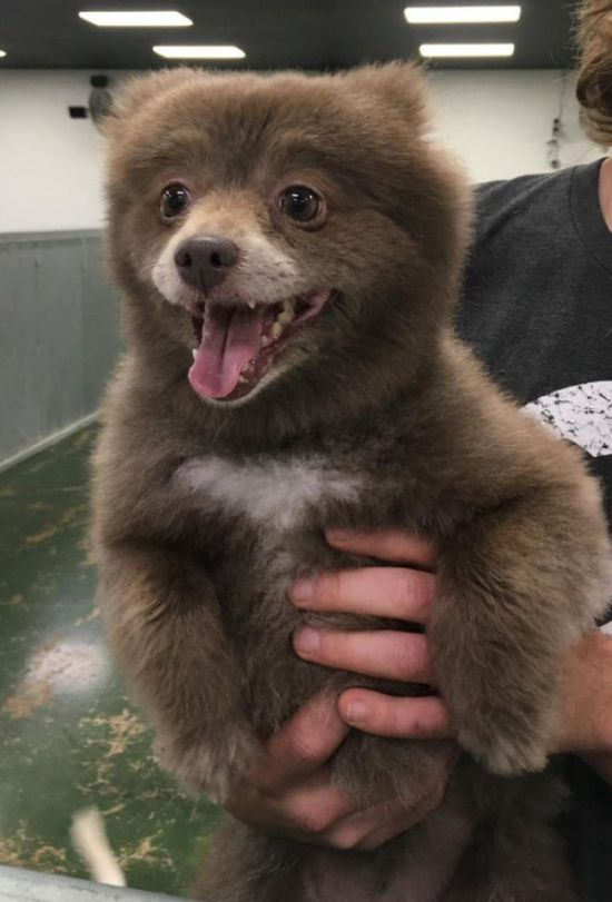 20 Adorable Dogs That Look Like Bears (20 pics)