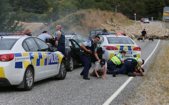 New Zealand Police End A Car Chase With A Little Help From Local Sheep (3 pics)